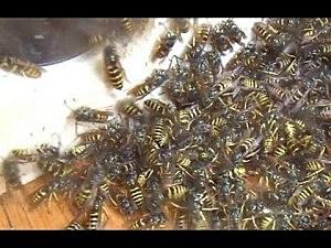Wasp sucker