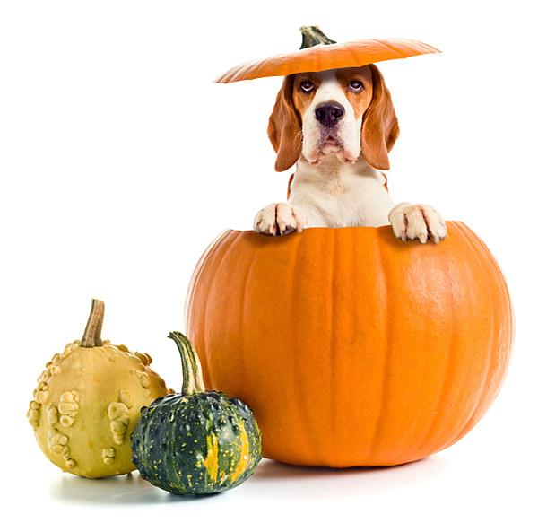 Cesar Millan S Healthy Pumpkin Ball Dog Treat Recipe